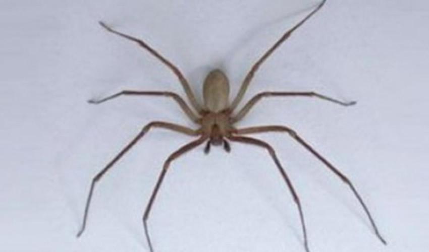 """La """"araña de rincón"""" o """"araña violinista"""" (Loxosceles laeta), suele esconderse en grietas y rincones de difícil acceso"""