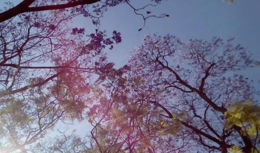 """""""La jacaranda sigue meciéndose, el viento no da tregua y acelera la ya de por sí efímera existencia de la floración"""""""