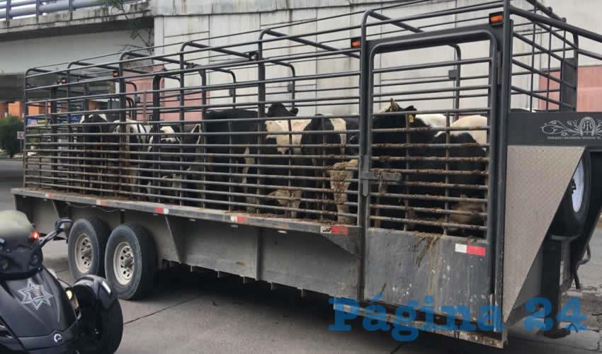 En un remolque eran transportadas 12 vacas