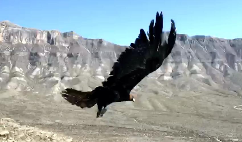 La Profepa y el Heroico Colegio Militar seguirán trabajando para salvaguardar al Águila Real y otras aves de presa que se distribuyen en el país