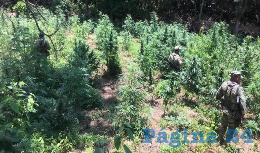 Las plantas destruidas de mariguana